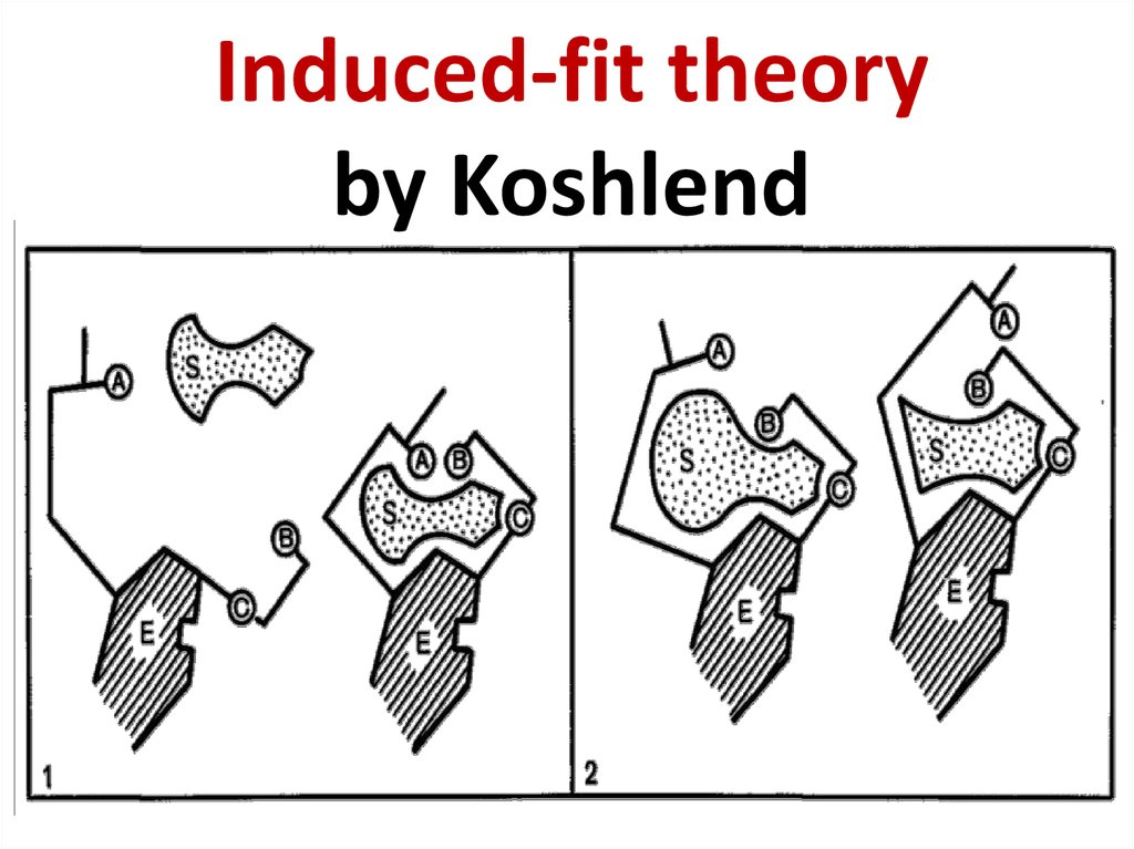 Induced-fit theory by Koshlend
