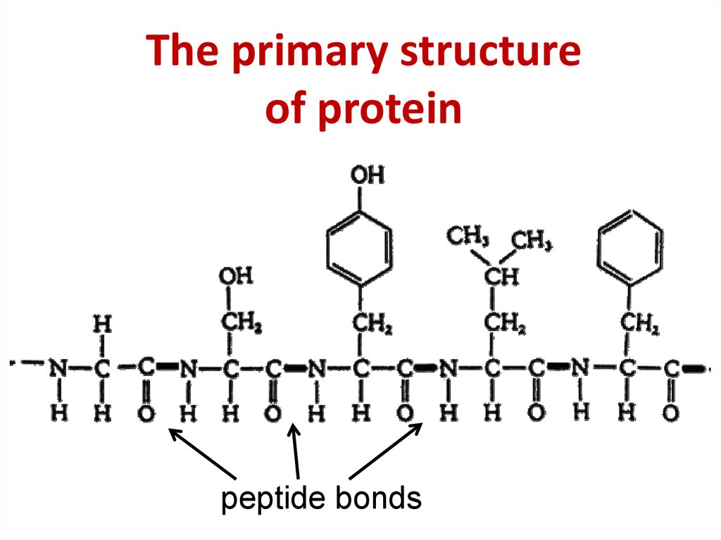 The primary structure of protein