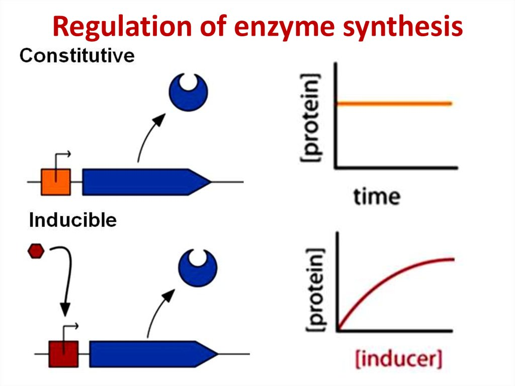 Regulation of enzyme synthesis