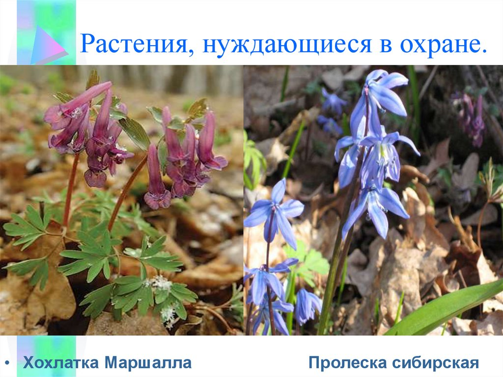 диагностики фотографии растений которые нуждаются в охране развесистая