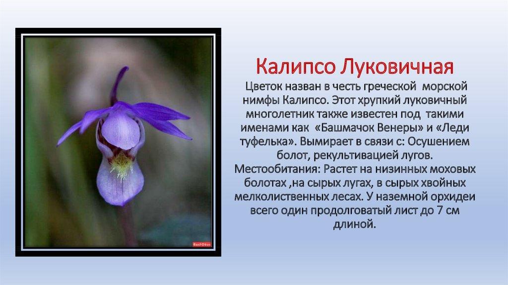 цветок калипсо фото краткое описание продаже комнатных цветов