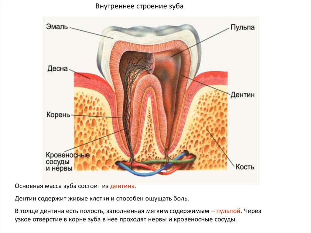 Зуб в разрезе картинка для детей
