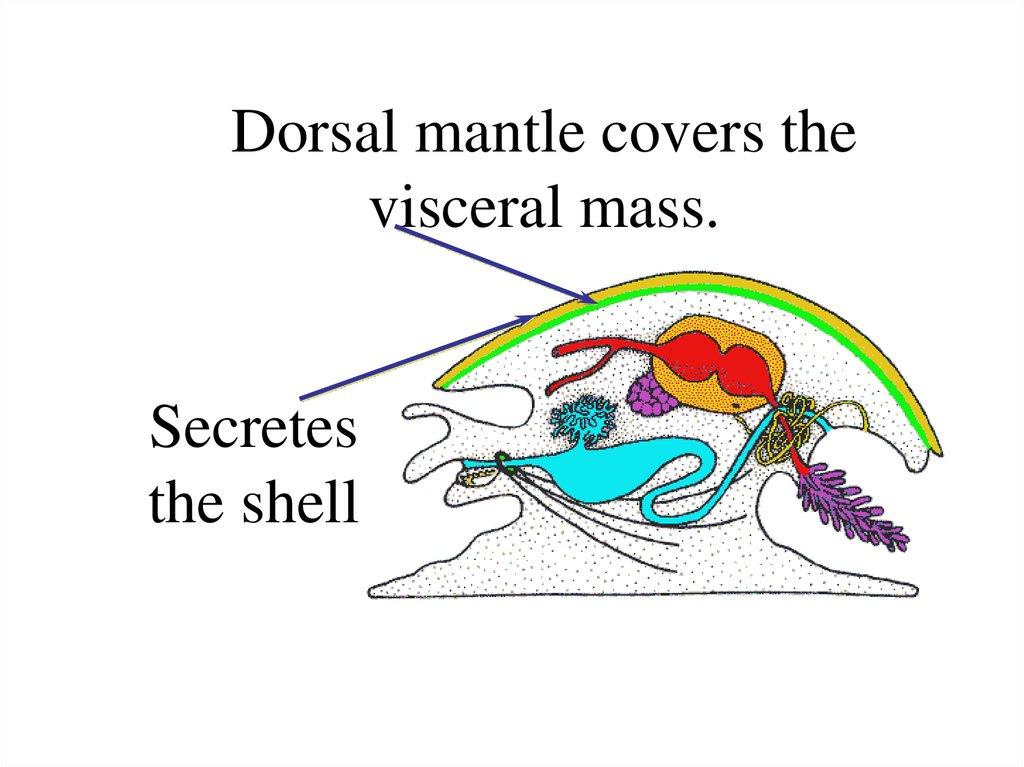 Dorsal mantle covers the visceral mass.