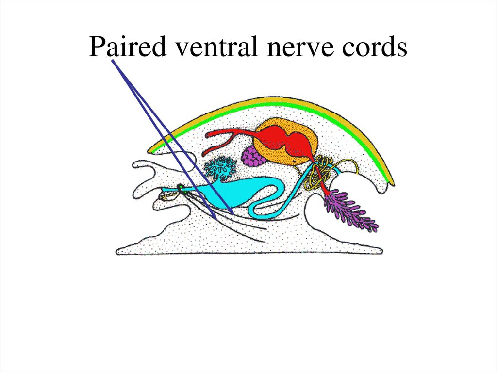 Paired ventral nerve cords