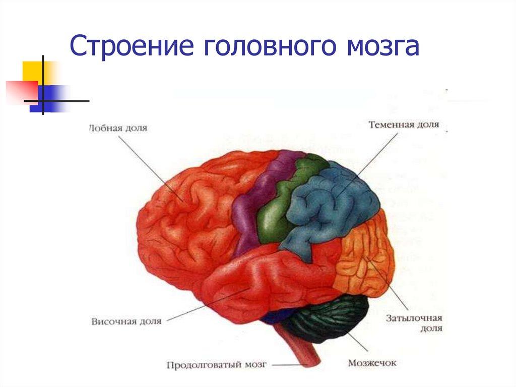 Картинки строение головной мозг человека