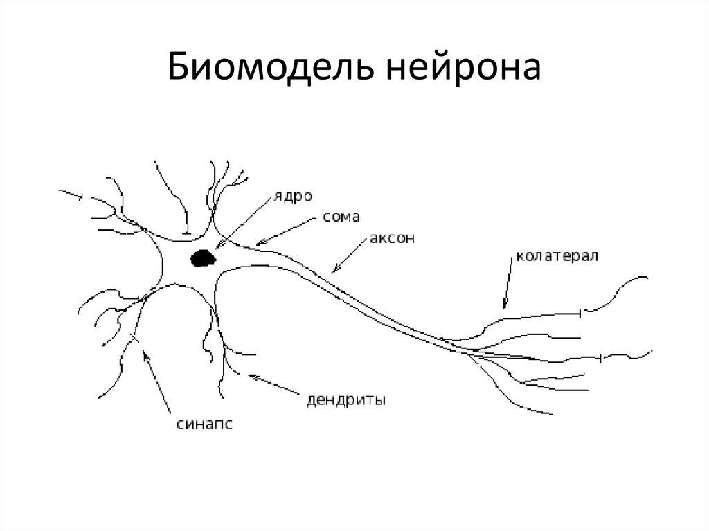 расположение, картинка нейрона с обозначениями публичные