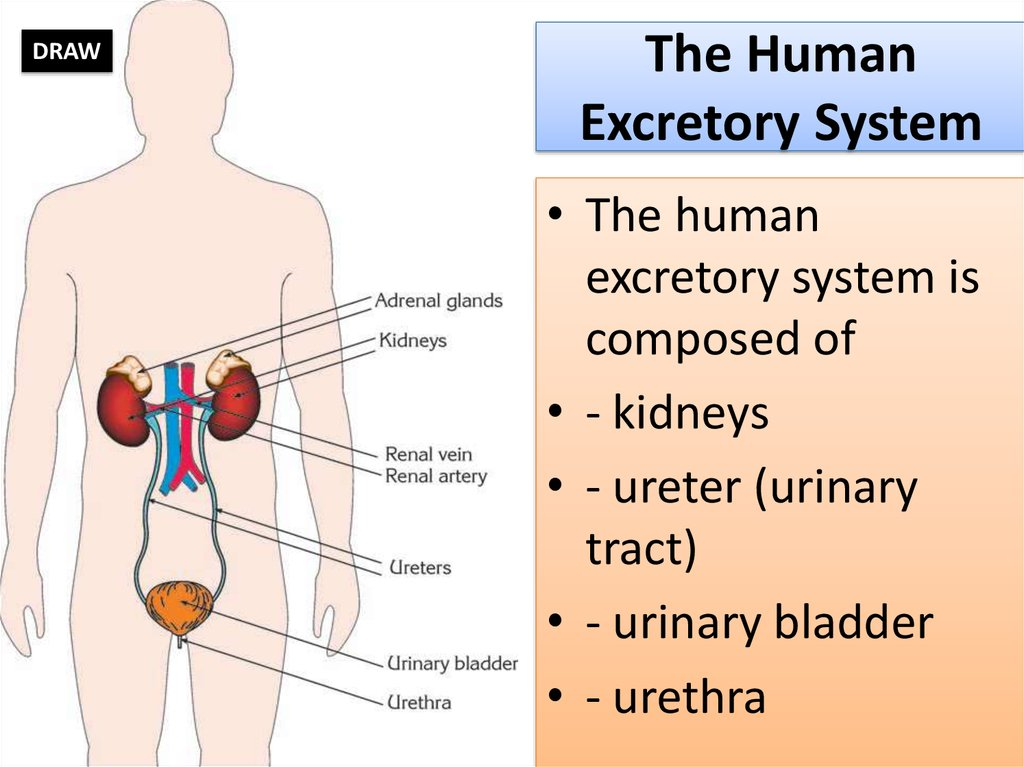 The Human Excretory System