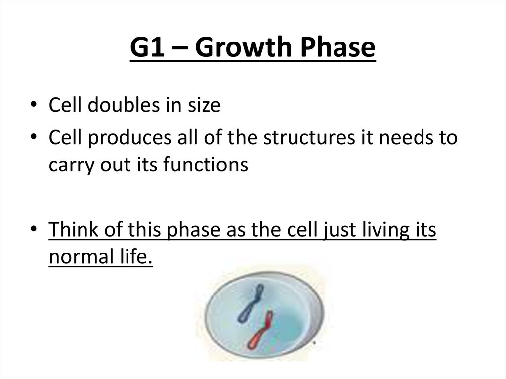 G1 – Growth Phase
