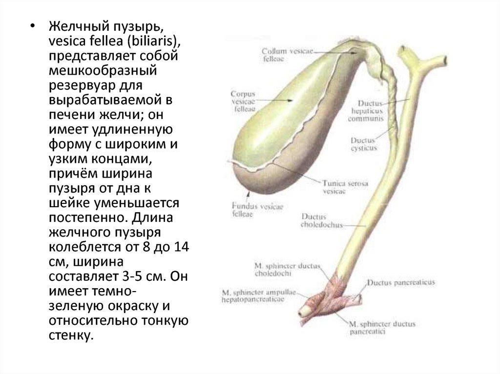 Анатомия в картинках желчного пузыря