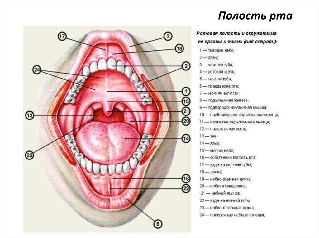 схема полости рта человека только один