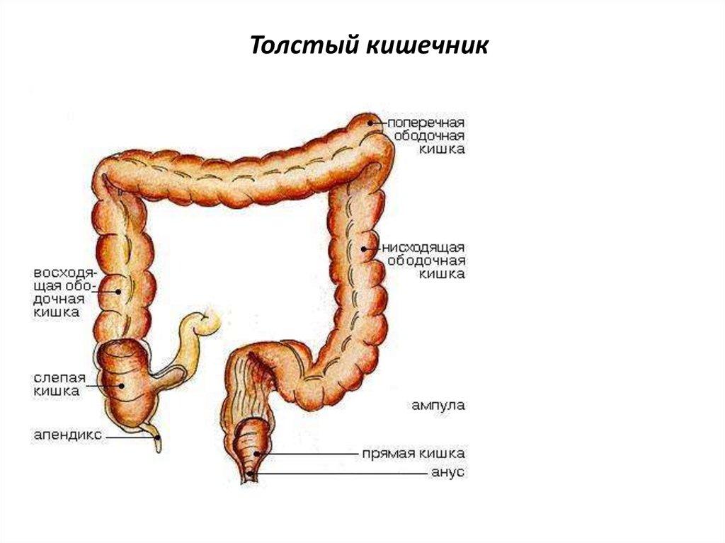 Все отделы кишечника в картинке