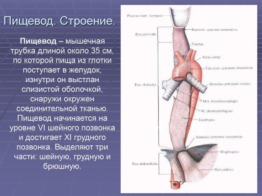 Пищевод анатомия картинки