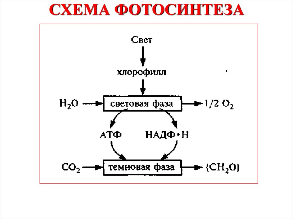 схема фотосинтеза отмечена буквой готические содержит