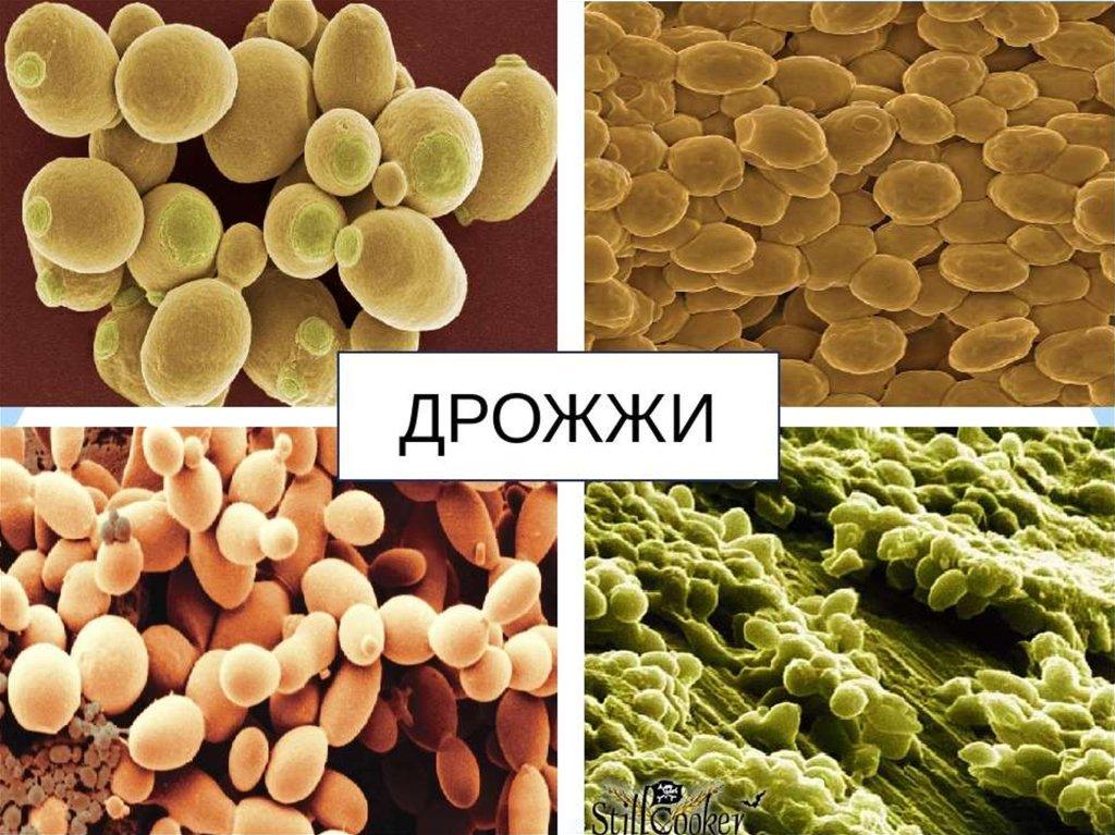 Дрожжи грибы фото