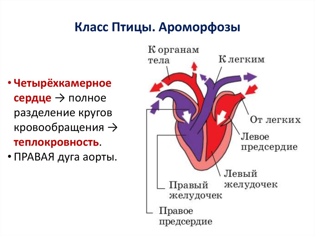 фотосъемка картинки строения сердца птицы людям