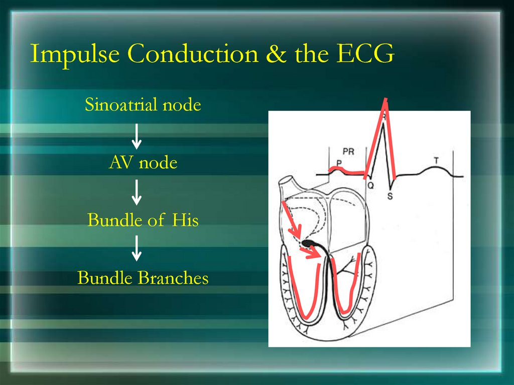 Impulse Conduction & the ECG