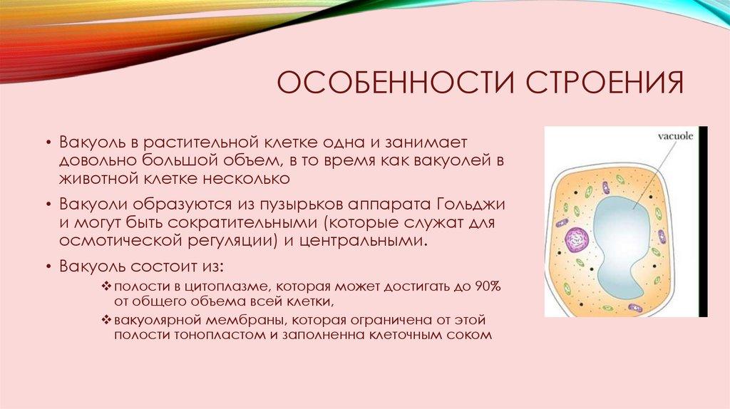 Вакуоль в растительной клетке - презентация онлайн  Вакуоль В Животной Клетке