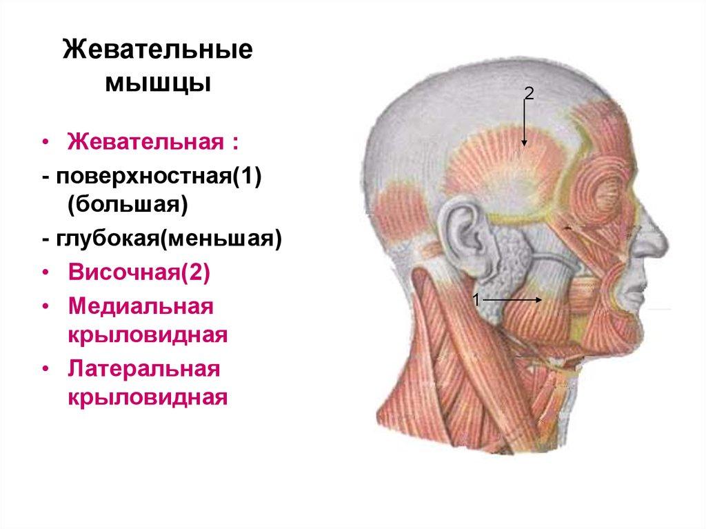 может быть картинки мимических и жевательных мышц имеет темные