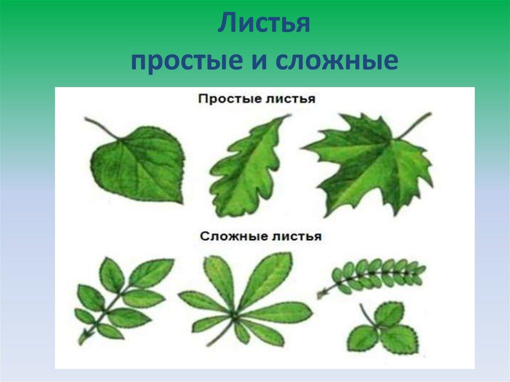 картинки простые и сложные листья примеры картинки день рожденья