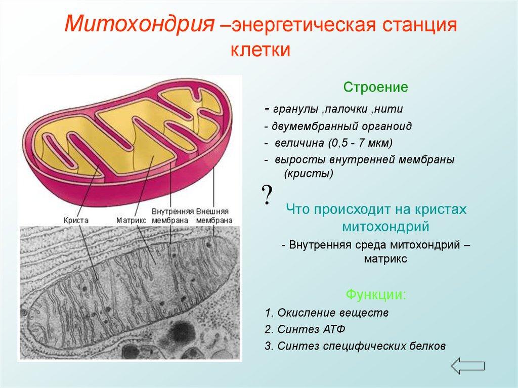 Митохондрии картинки для презентации