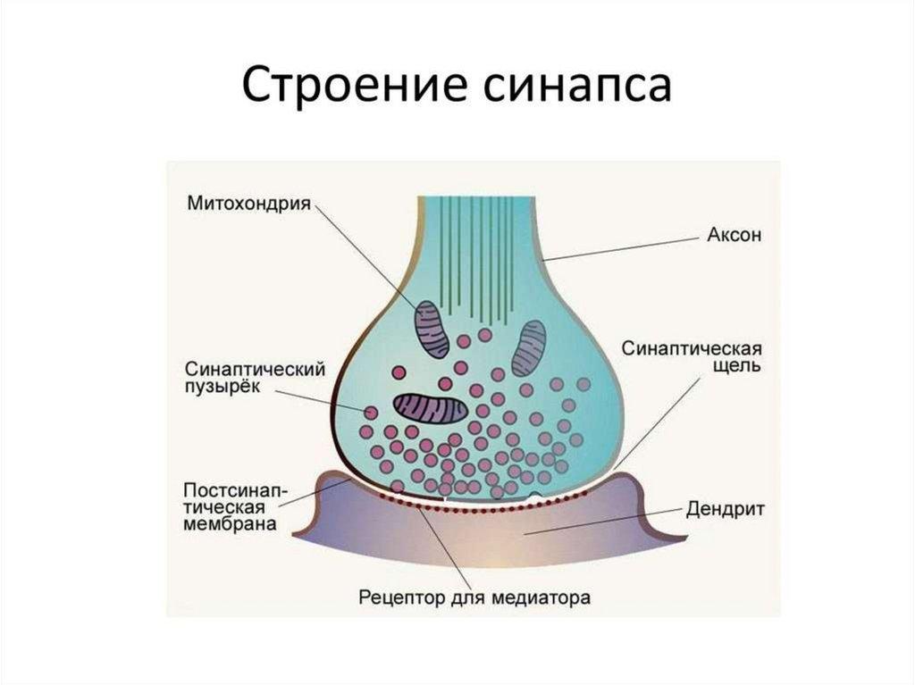 только схема строения синапса здешних озерах реках