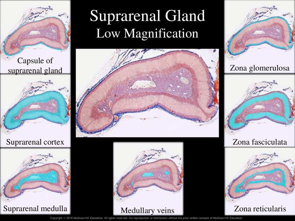 Suprarenal Gland Low Magnification