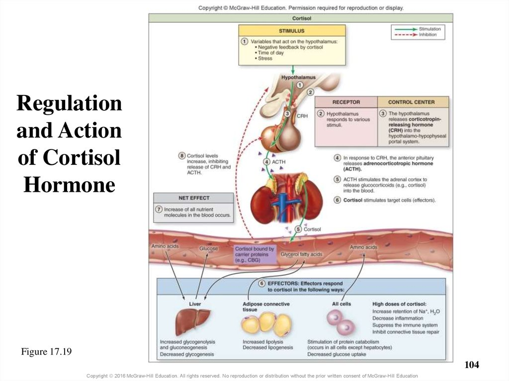 Regulation and Action of Cortisol Hormone