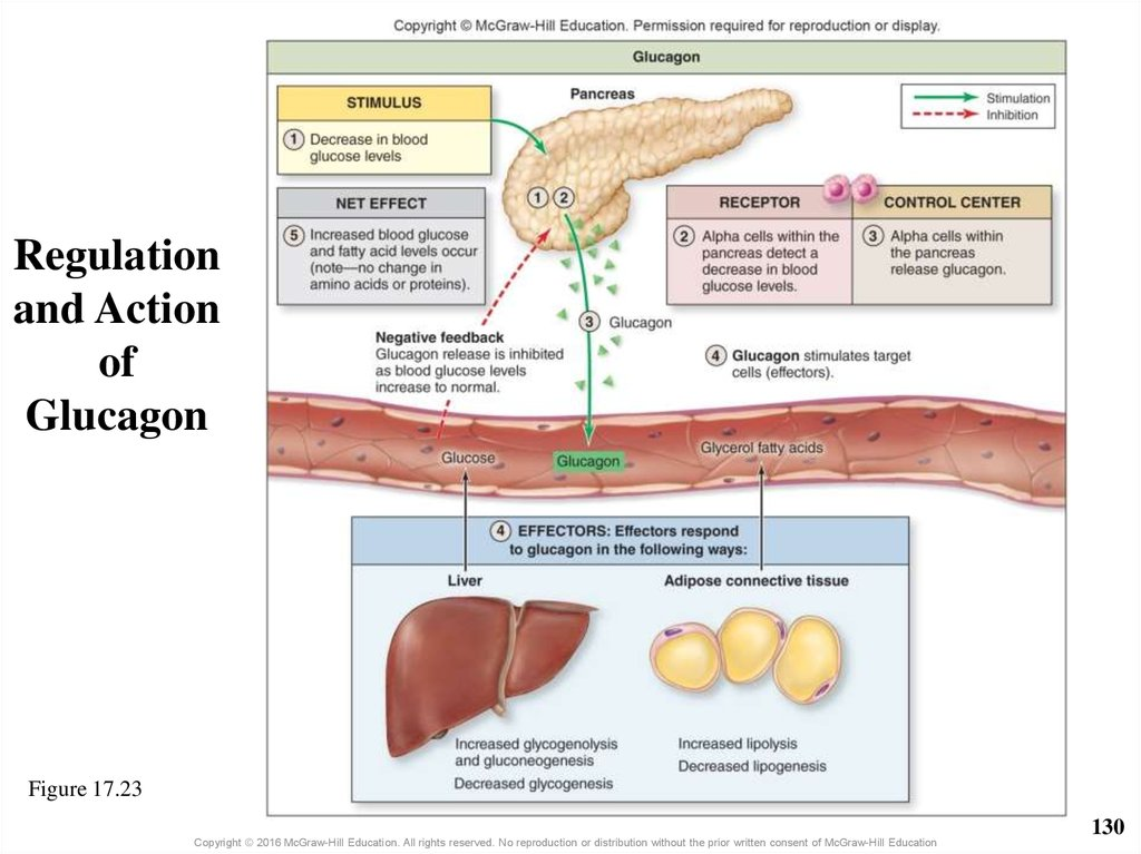 Regulation and Action of Glucagon