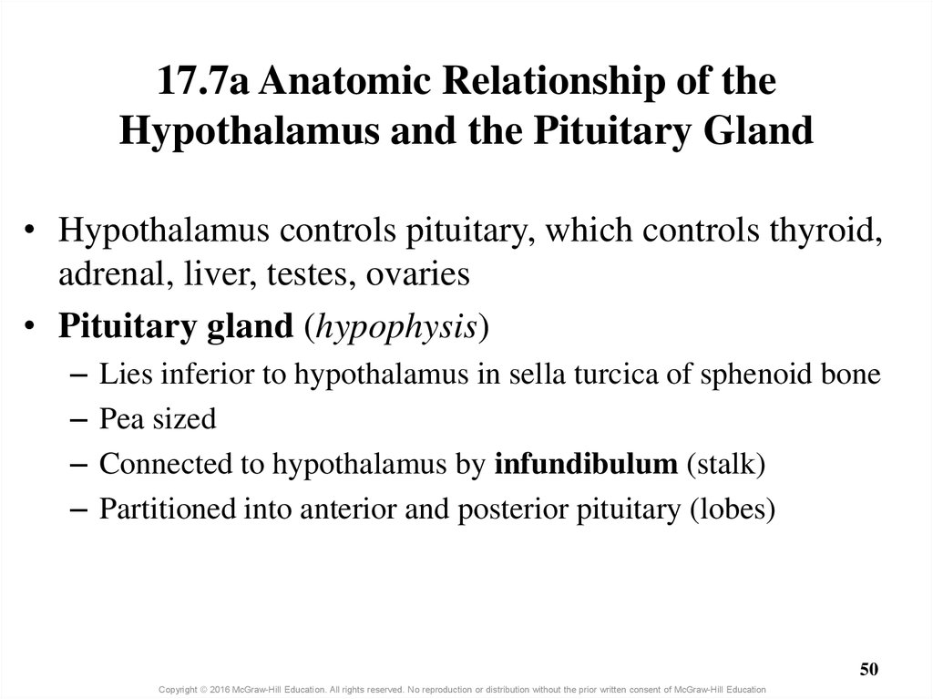 17.7a Anatomic Relationship of the Hypothalamus and the Pituitary Gland