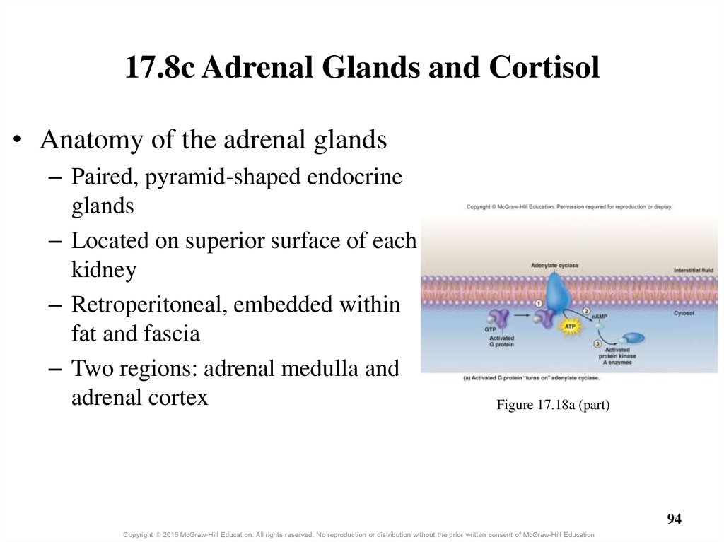 17.8c Adrenal Glands and Cortisol