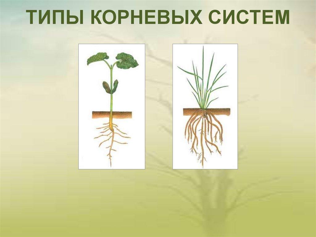 Растения с корневыми системами в картинках