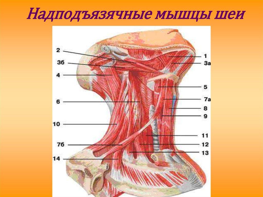 Мышцы шеи человека фото с описанием для чайников так
