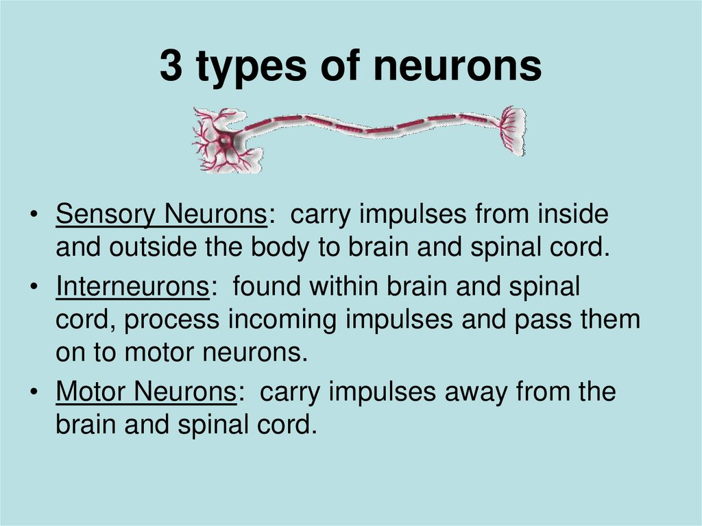 3 types of neurons