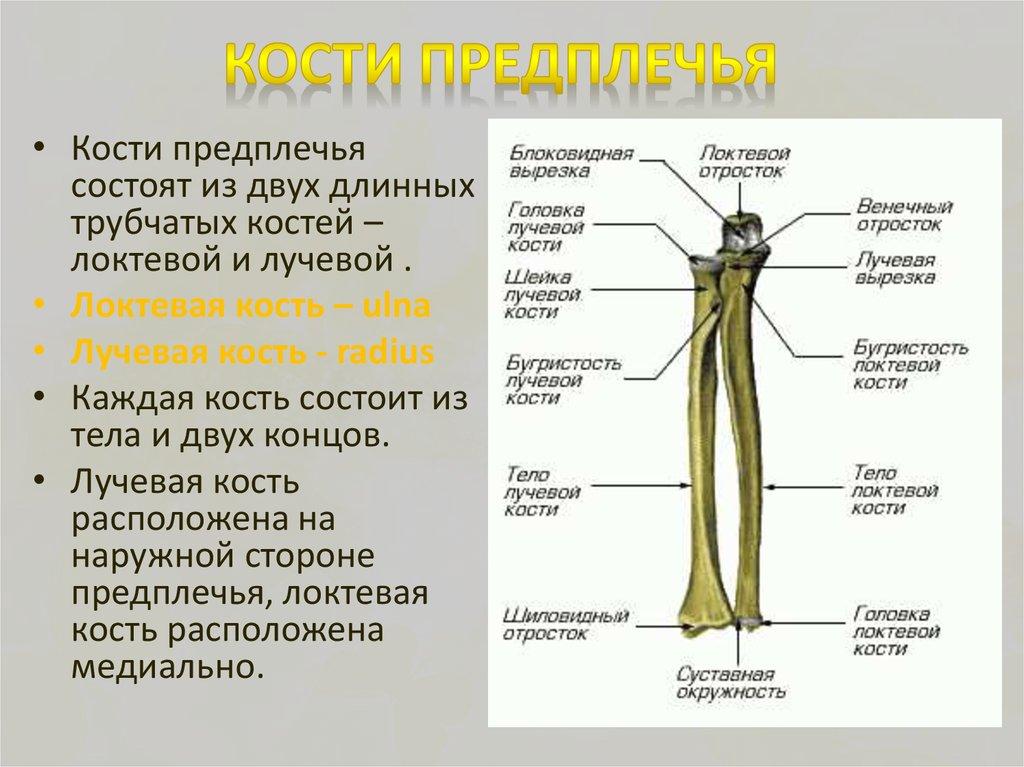 давно картинка лучевой и локтевой кости она выделяет